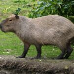 Capybara : what you need to know about the largest rodent in existence