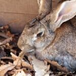 The Giant Rabbit: breeds, care, nutrition
