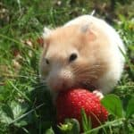 The Golden Hamster as a pet: Characteristics, Habitat, Cage, Diet, Reproduction