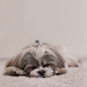 Do-Dogs-Dream-What-do-dogs-dream-About