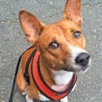 First steps in training the Basenji breed
