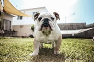 Is-it-the-breed-that-determines-the-aggression-of-the-dog