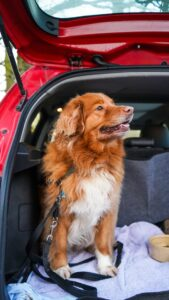 What-to-do-if-the-dog-is-afraid-of-cars