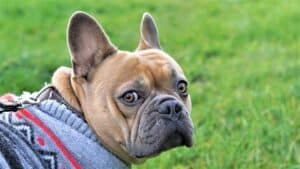 Aggression-in-Dogs-due-to-an-Overprotective-Attitude-of-Owners