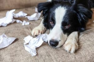 Does-the-dog-destroy-the-house-when-you-are-not-there