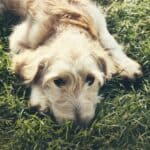Indigestion in dogs: what to do and how to avoid it?