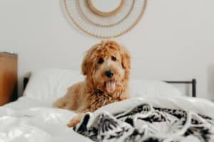 What-to-do-when-the-dog-pees-on-the-bed