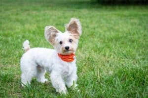 Why-do-small-dogs-have-more-character-than-large-ones