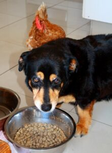 Why-does-dog-push-food-out-of-the-bowl