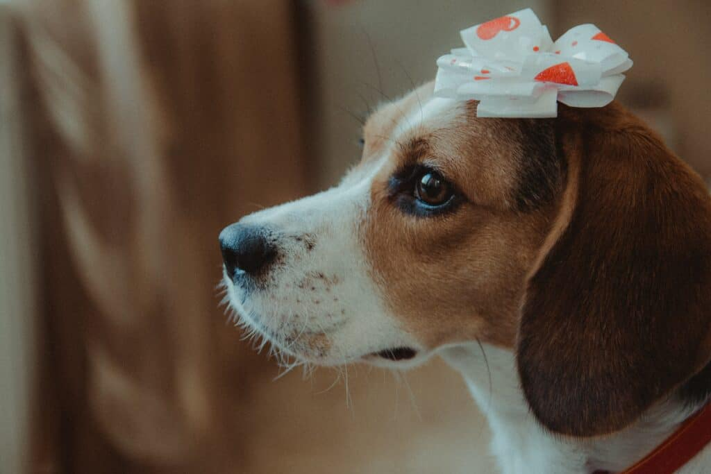 10 Reasons why you should get a Beagle