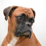 Boxer dog breed : appearance, character, training