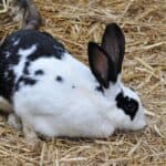Butterfly Rabbit or English Spot Rabbit-appearance, character, care