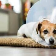 7-tips-for-the-post-operative-phase-of-dogs