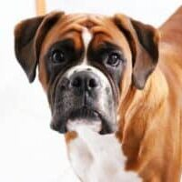 Acne in dogs what to do if your dog has pimples!