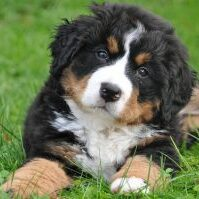 Bernese-Mountain-Dog-appearance-character-care