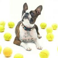 Boston Terrier appearance, character, training, health