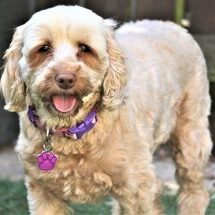 Cockapoo-or-Spoodle-appearance-character-training
