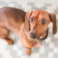 Dachshunds appearance, character, health and more