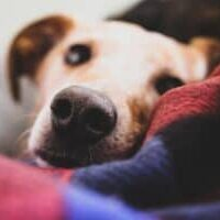Dry-Nose-in-Dogs-Causes-and-Treatment