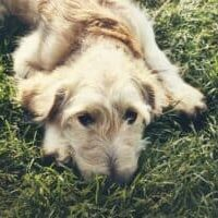Indigestion-in-dogs-what-to-do-and-how-to-avoid-it