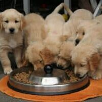 Multivitamin-supplements-for-puppies-what-do-you-need-to-know