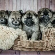 Neonatal-mortality-in-puppies-4-causes