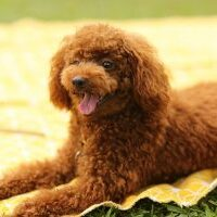 Poodle-appearance-character-training-buying