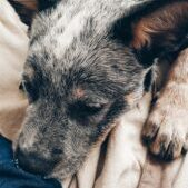 Scabies-in-puppies-causes-and-symptoms