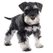Schnauzer-syndrome-what-it-is-and-how-to-treat-it