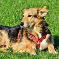 The-advantages-of-mixed-breed-dogs