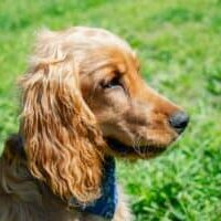 Why-Some-Dogs-Have-Floppy-or-drooping-Ears