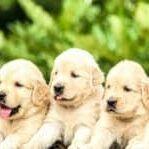 weaning-meal-for-puppies